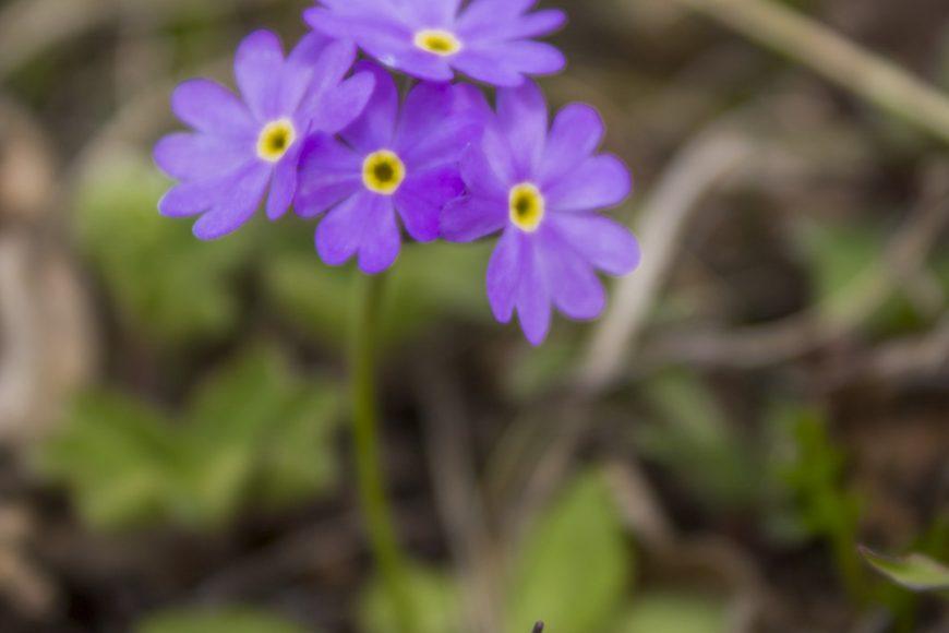 Луговые цветы на плато Лаго-Наки